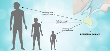 Pituitary gland - the most important factor for height development